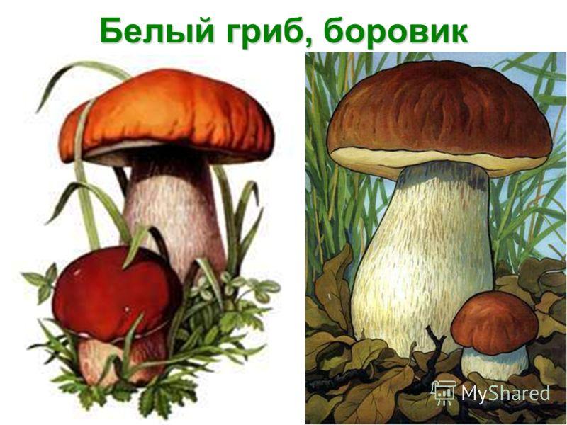 Белый гриб, боровик