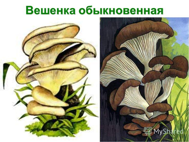 вешёнка гриб