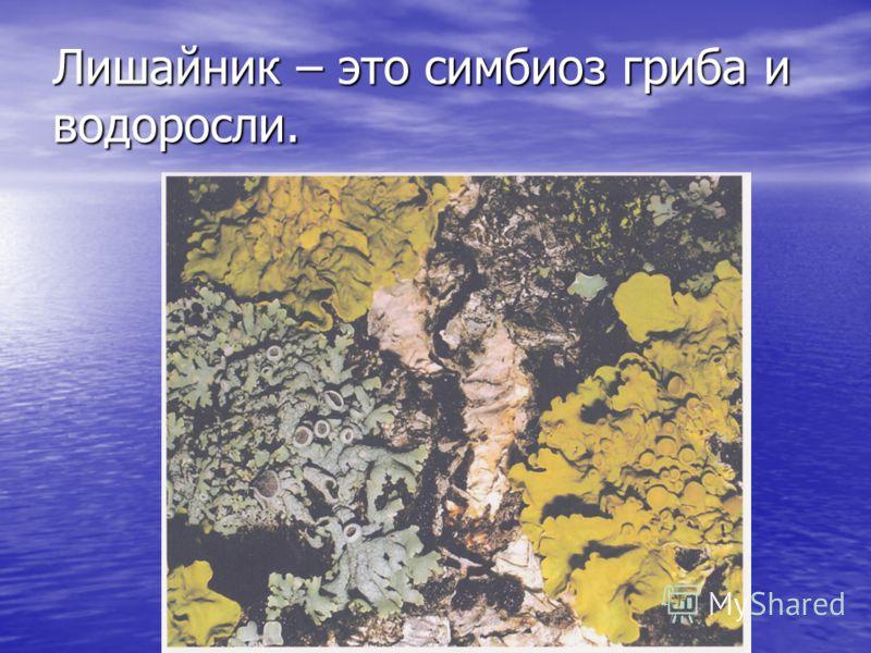Лишайник – это симбиоз гриба и водоросли.