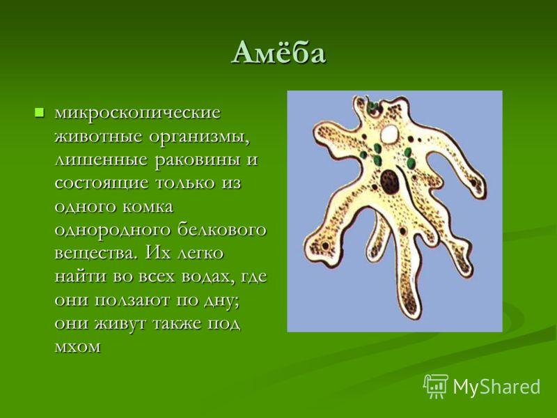 Амёба микроскопические животные организмы, лишенные раковины и состоящие только из одного комка однородного белкового вещества. Их легко найти во всех водах, где они ползают по дну; они живут также под мхом микроскопические животные организмы, лишенн