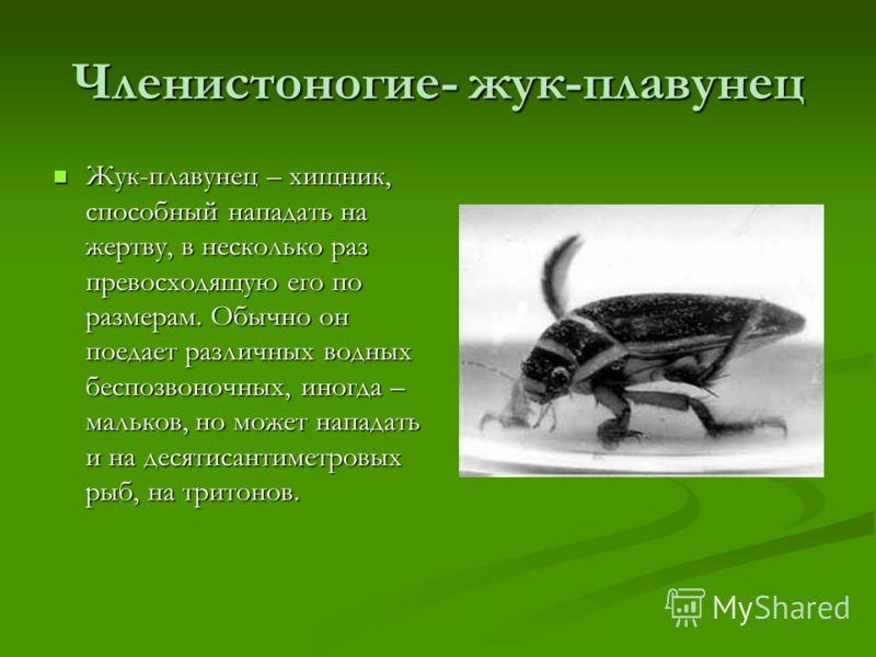 Членистоногие- жук-плавунец Жук-плавунец – хищник, способный нападать на жертву, в несколько раз превосходящую его по размерам. Обычно он поедает различных водных беспозвоночных, иногда – мальков, но может нападать и на десятисантиметровых рыб, на тр