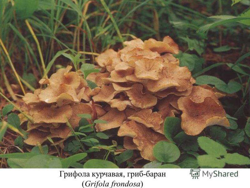 Грифола курчавая, гриб-баран (Grifola frondosa)