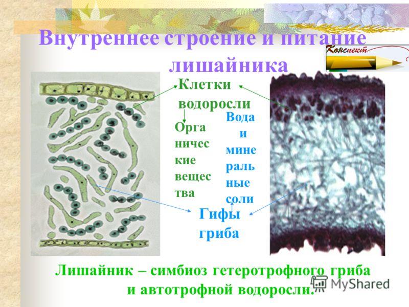 Кустистые лишайники Уснея Кладонии Цетрария