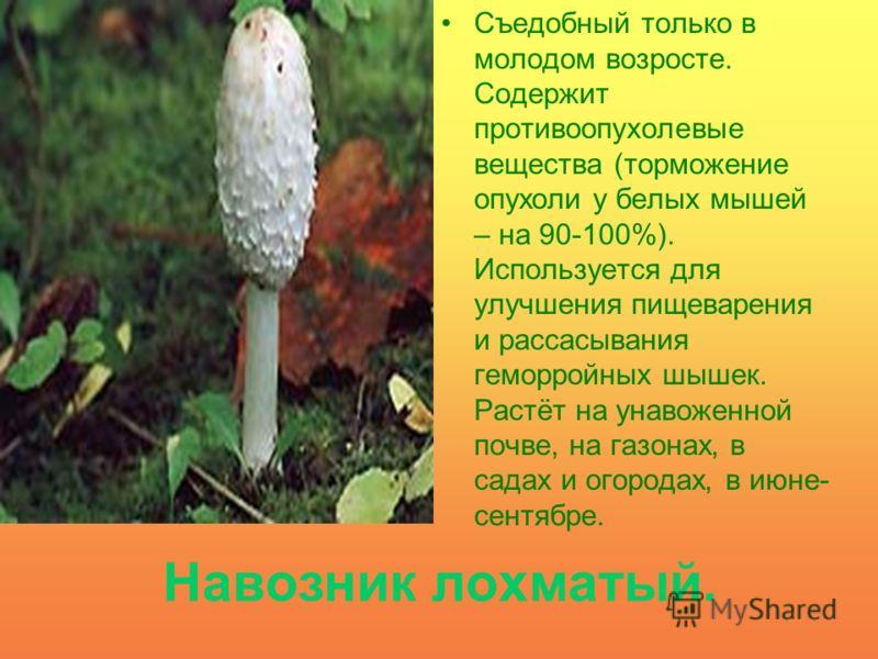 Навозник лохматый. Съедобный только в молодом возросте. Содержит противоопухолевые вещества (торможение опухоли у белых мышей – на 90-100%). Используется для улучшения пищеварения и рассасывания геморройных шышек. Растёт на унавоженной почве, на газо