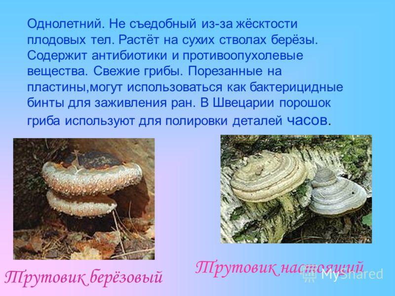 Трутовик настоящий Трутовик берёзовый Однолетний. Не съедобный из-за жёсктости плодовых тел. Растёт на сухих стволах берёзы. Содержит антибиотики и противоопухолевые вещества. Свежие грибы. Порезанные на пластины,могут использоваться как бактерицидны
