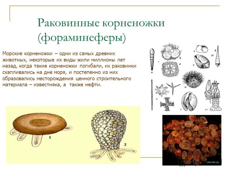 Раковинные корненожки (фораминеферы) Морские корненожки – одни из самых древних животных, некоторые их виды жили миллионы лет назад, когда такие корненожки погибали, их раковинки скапливались на дне моря, и постепенно из них образовались месторождени