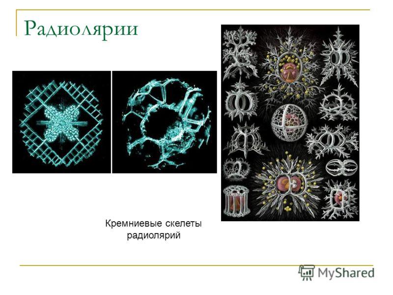 Радиолярии Кремниевые скелеты радиолярий