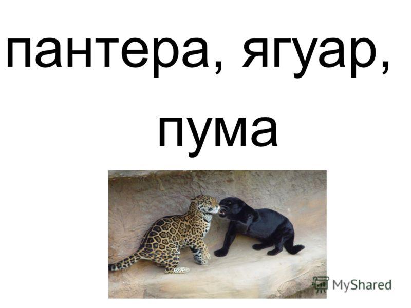 пантера, ягуар, пума