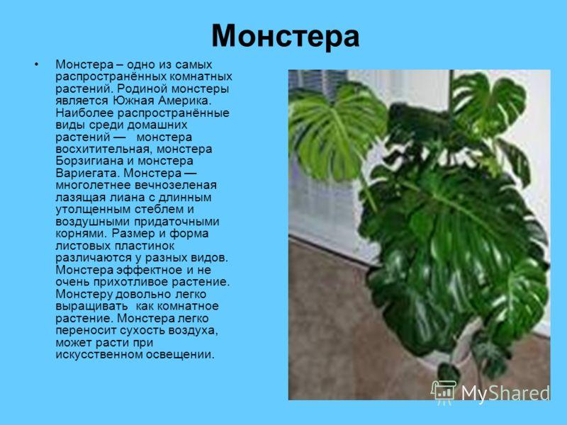 Монстера Монстера – одно из самых распространённых комнатных растений. Родиной монстеры является Южная Америка. Наиболее распространённые виды среди домашних растений монстера восхитительная, монстера Борзигиана и монстера Вариегата. Монстера многоле