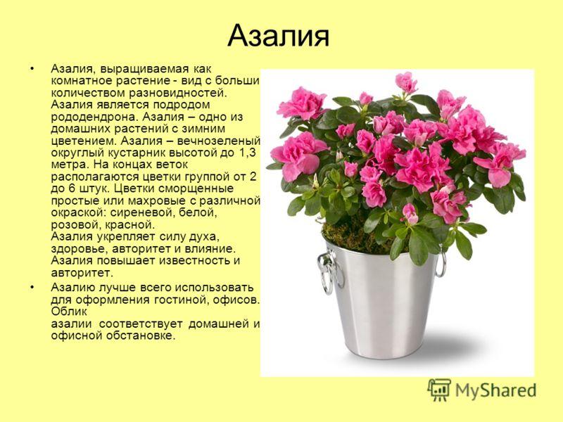 Азалия Азалия, выращиваемая как комнатное растение - вид с большим количеством разновидностей. Азалия является подродом рододендрона. Азалия – одно из домашних растений с зимним цветением. Азалия – вечнозеленый округлый кустарник высотой до 1,3 метра