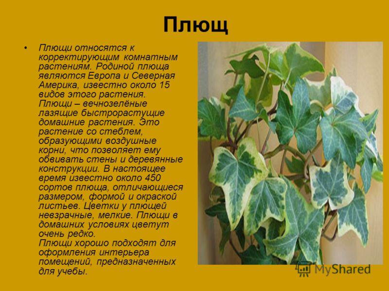 Плющ Плющи относятся к корректирующим комнатным растениям. Родиной плюща являются Европа и Северная Америка, известно около 15 видов этого растения. Плющи – вечнозелёные лазящие быстрорастущие домашние растения. Это растение со стеблем, образующими в