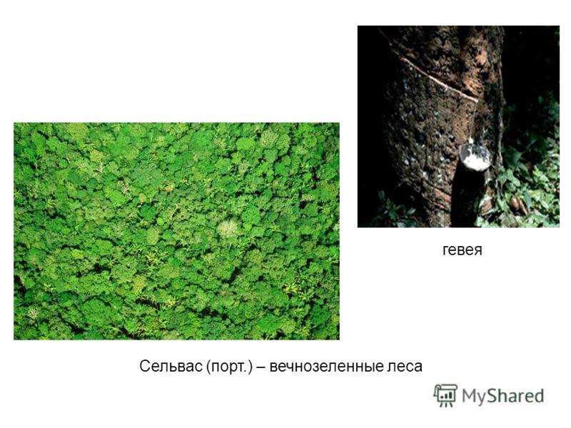 гевея Сельвас (порт.) – вечнозеленные леса