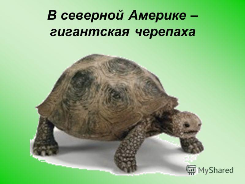 В северной Америке – гигантская черепаха