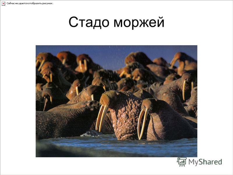 Стадо моржей