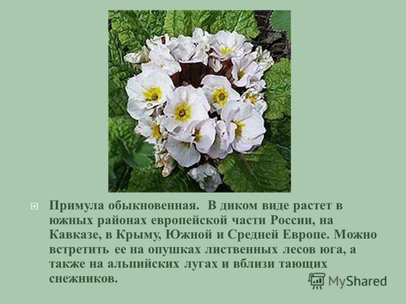 Примула обыкновенная. В диком виде растет в южных районах европейской части России, на Кавказе, в Крыму, Южной и Средней Европе. Можно встретить ее на опушках лиственных лесов юга, а также на альпийских лугах и вблизи тающих снежников.