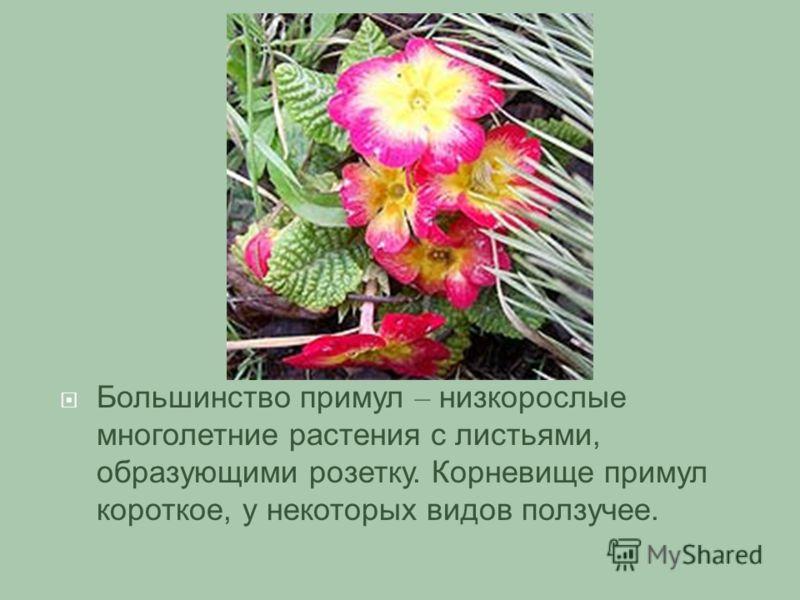 Большинство примул – низкорослые многолетние растения с листьями, образующими розетку. Корневище примул короткое, у некоторых видов ползучее.