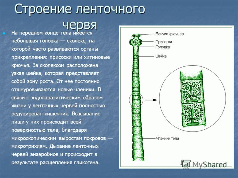 Строение ленточного червя На переднем конце тела имеется небольшая головка сколекс, на которой часто развиваются органы прикрепления: присоски или хитиновые крючья. За сколексом расположена узкая шейка, которая представляет собой зону роста. От нее п