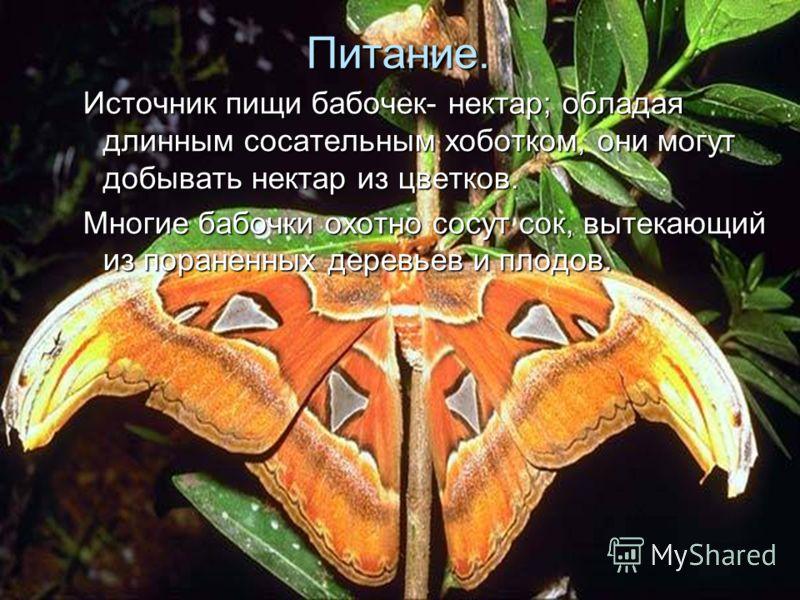 Питание. Источник пищи бабочек- нектар; обладая длинным сосательным хоботком, они могут добывать нектар из цветков. Многие бабочки охотно сосут сок, вытекающий из пораненных деревьев и плодов.