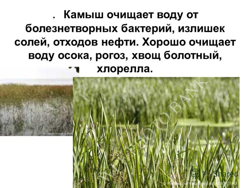 . Камыш очищает воду от болезнетворных бактерий, излишек солей, отходов нефти. Хорошо очищает воду осока, рогоз, хвощ болотный, хлорелла.