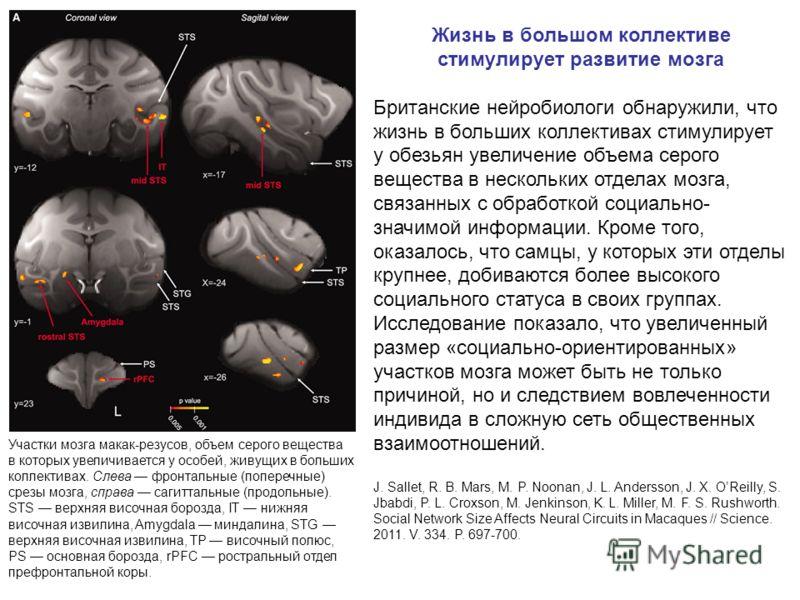 Участки мозга макак-резусов, объем серого вещества в которых увеличивается у особей, живущих в больших коллективах. Слева фронтальные (поперечные) срезы мозга, справа сагиттальные (продольные). STS верхняя височная борозда, IT нижняя височная извилин
