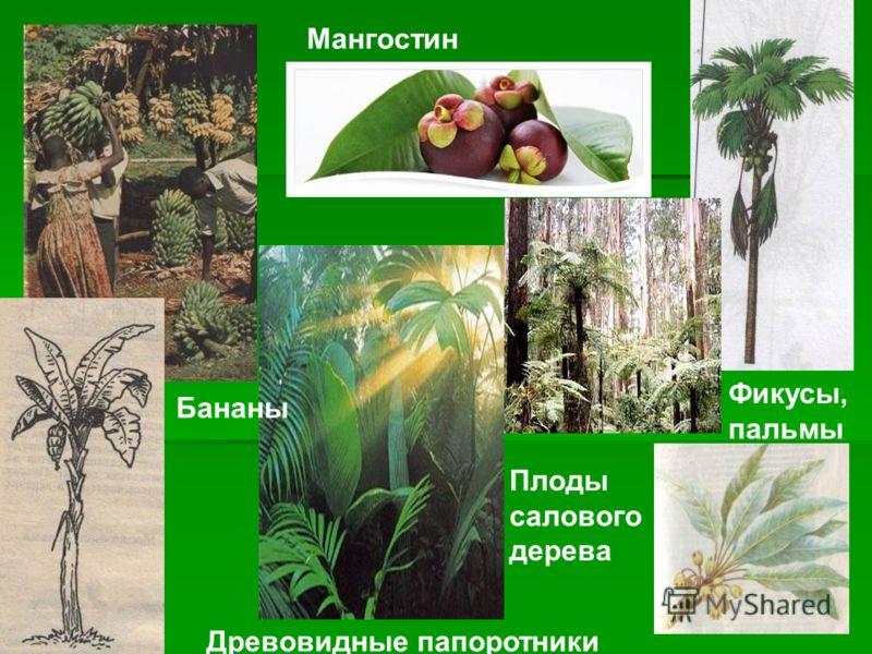 Мангостин Древовидные папоротники Бананы Фикусы, пальмы Плоды салового дерева