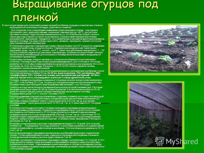 Выращивание огурцов под пленкой В настоящее время для получения ранних овощей (особенно огурцов и томатов) мы стали их выращивать в пленочных теплицах, укрытиях и тоннелях. Для покрытия этих сооружений применили полиэтиленовую пленку - она хорошо про