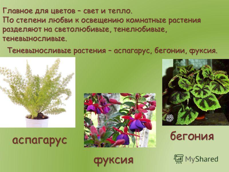 Главное для цветов – свет и тепло. По степени любви к освещению комнатные растения разделяют на светолюбивые, тенелюбивые, теневыносливые. Теневыносливые растения – аспагарус, бегонии, фуксия. аспагарус бегония фуксия