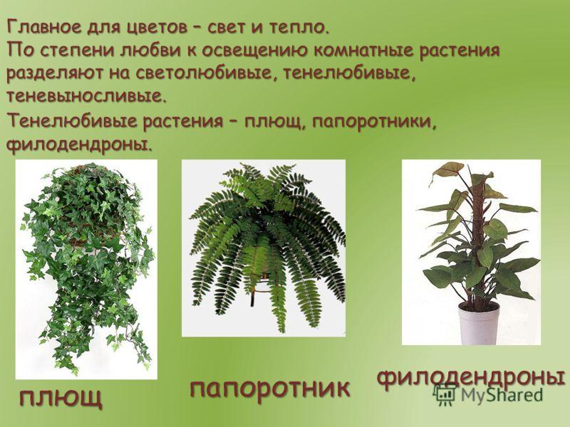 Главное для цветов – свет и тепло. По степени любви к освещению комнатные растения разделяют на светолюбивые, тенелюбивые, теневыносливые. Тенелюбивые растения – плющ, папоротники, филодендроны. плющ филодендроны папоротник