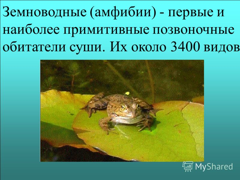 Земноводные (амфибии) - первые и наиболее примитивные позвоночные обитатели суши. Их около 3400 видов
