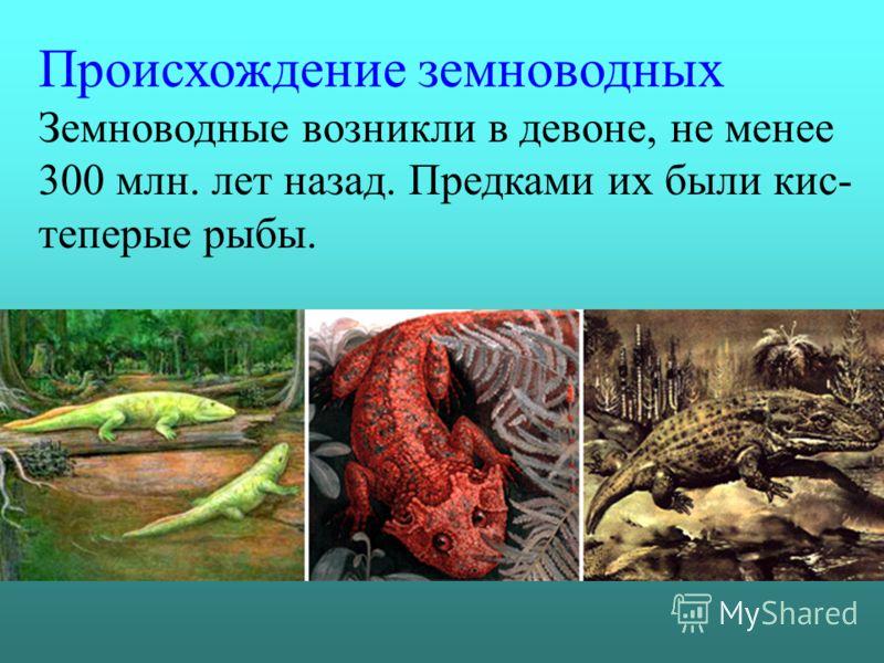 Происхождение земноводных Земноводные возникли в девоне, не менее 300 млн. лет назад. Предками их были кис- теперые рыбы.