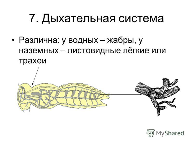 7. Дыхательная система Различна: у водных – жабры, у наземных – листовидные лёгкие или трахеи