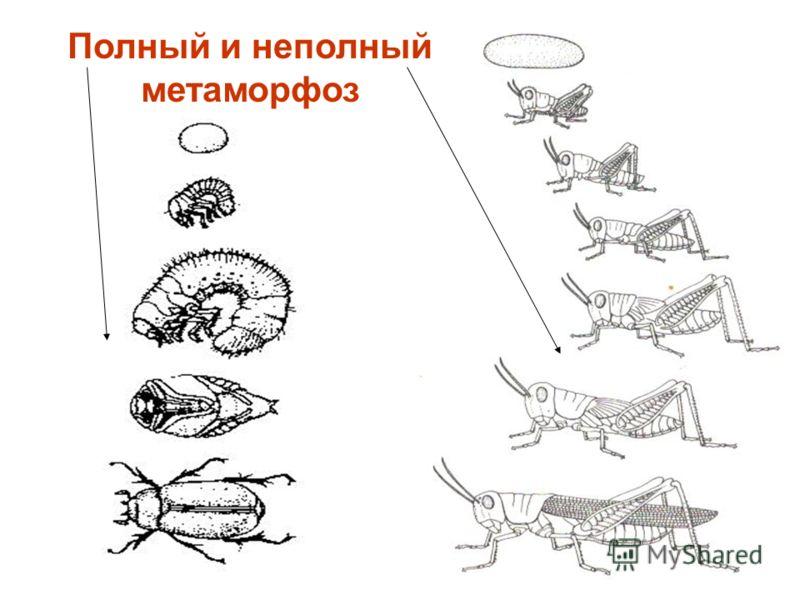 Полный и неполный метаморфоз