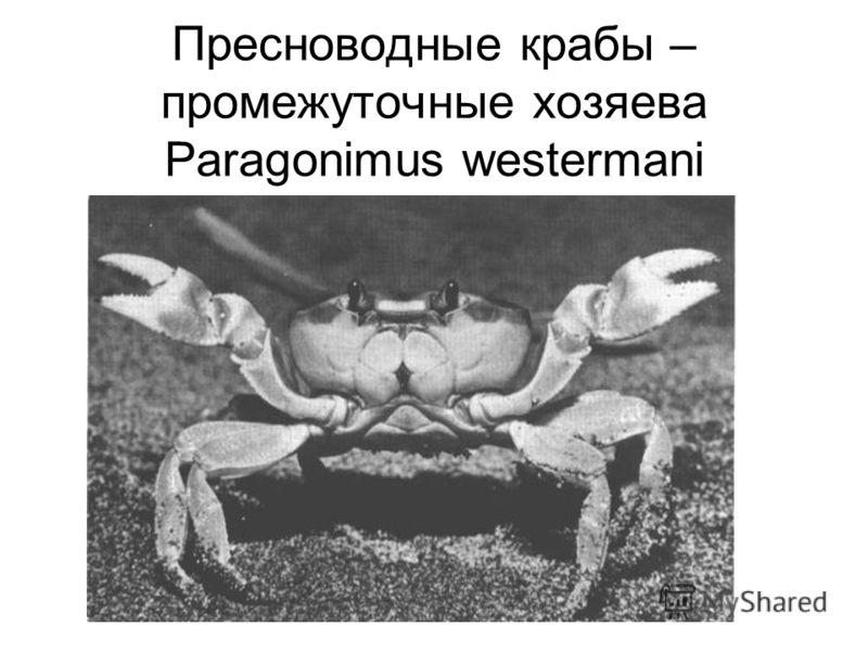 Пресноводные крабы – промежуточные хозяева Paragonimus westermani