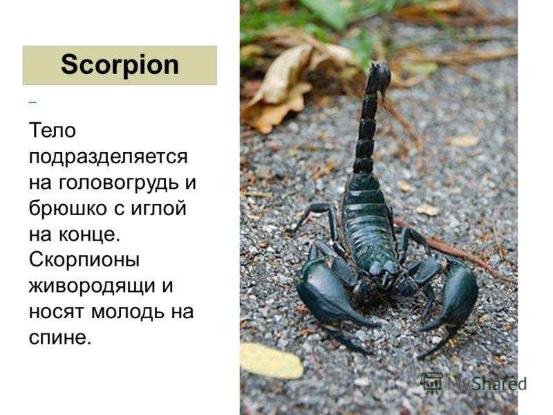 Scorpion Тело подразделяется на головогрудь и брюшко с иглой на конце. Скорпионы живородящи и носят молодь на спине.