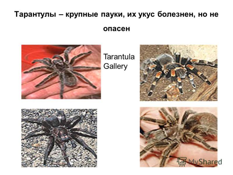 Тарантулы – крупные пауки, их укус болезнен, но не опасен Tarantula Gallery