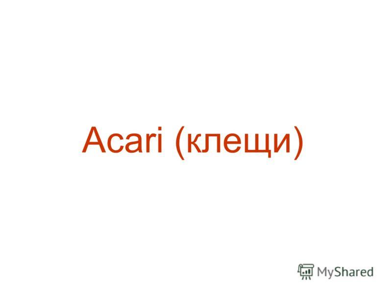 Acari (клещи)