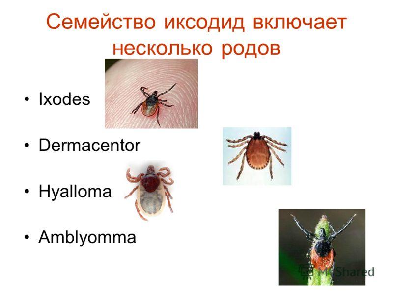 Семейство иксодид включает несколько родов Ixodes Dermacentor Hyalloma Amblyomma