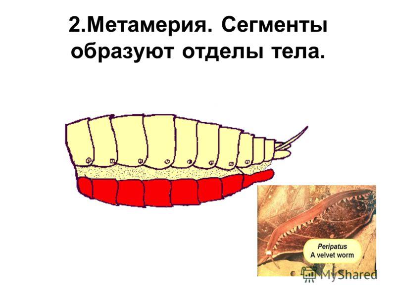 2.Метамерия. Сегменты образуют отделы тела.