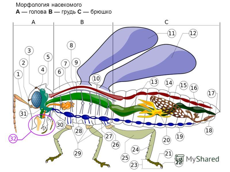 Морфология насекомого A голова B грудь C брюшко