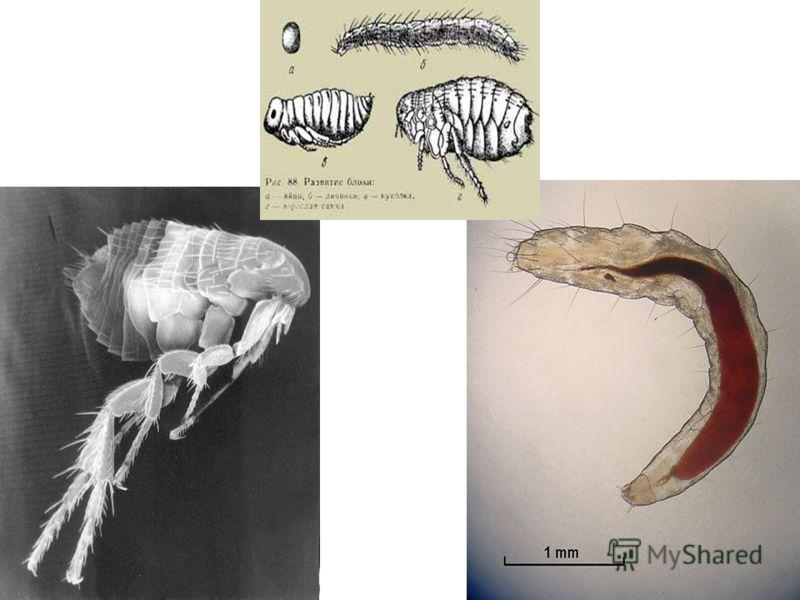 Diagram of a Flea