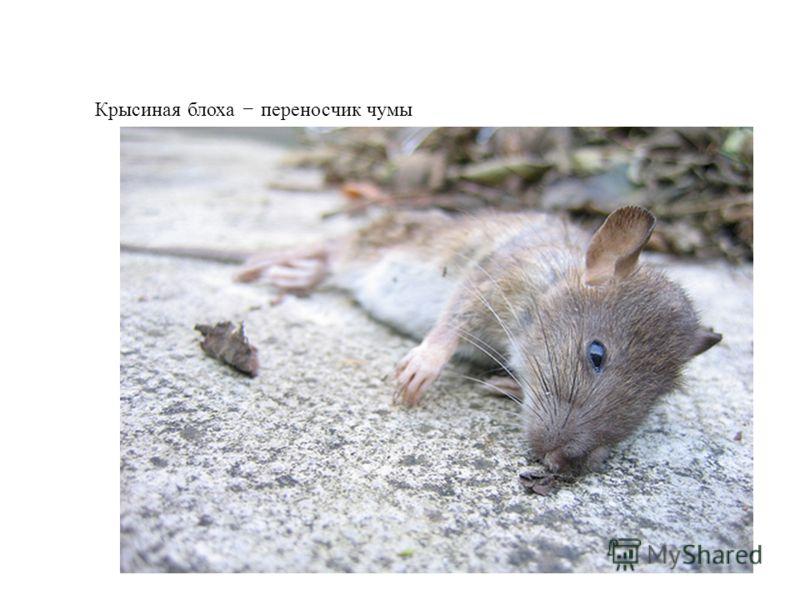 Крысиная блоха – переносчик чумы