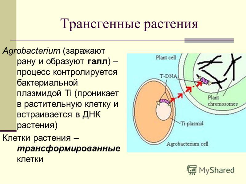 Трансгенные растения Agrobacterium (заражают рану и образуют галл) – процесс контролируется бактериальной плазмидой Ti (проникает в растительную клетку и встраивается в ДНК растения) Клетки растения – трансформированные клетки