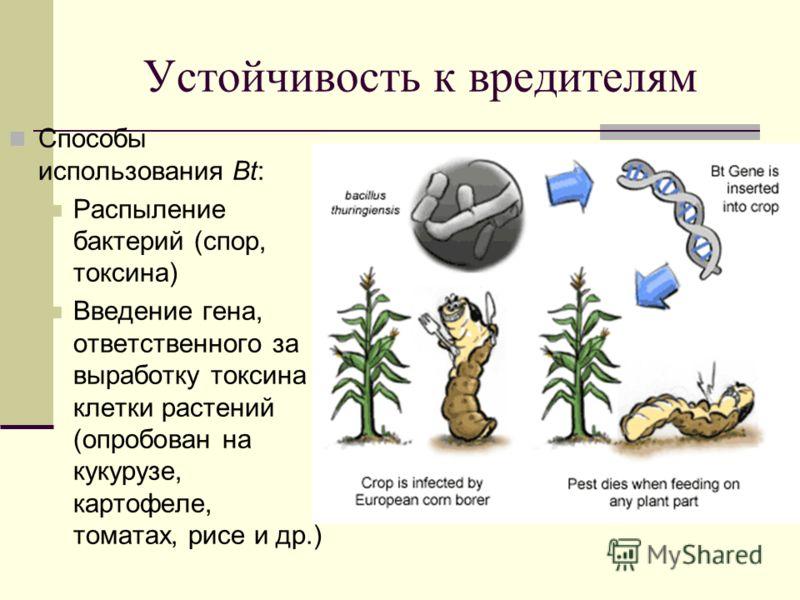 Устойчивость к вредителям Способы использования Bt: Распыление бактерий (спор, токсина) Введение гена, ответственного за выработку токсина в клетки растений (опробован на кукурузе, картофеле, томатах, рисе и др.)