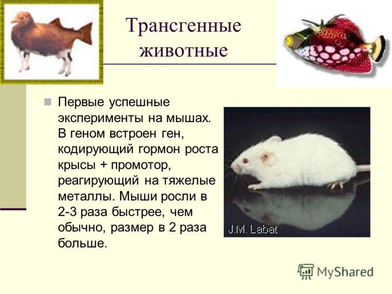 Трансгенные животные Первые успешные эксперименты на мышах. В геном встроен ген, кодирующий гормон роста крысы + промотор, реагирующий на тяжелые металлы. Мыши росли в 2-3 раза быстрее, чем обычно, размер в 2 раза больше.