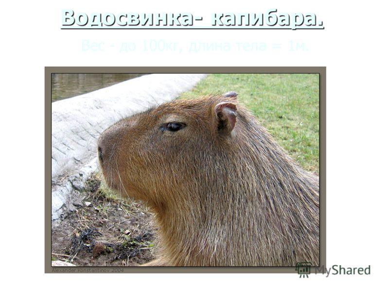 Водосвинка- капибара. Водосвинка- капибара. Вес - до 100кг, длина тела = 1м.