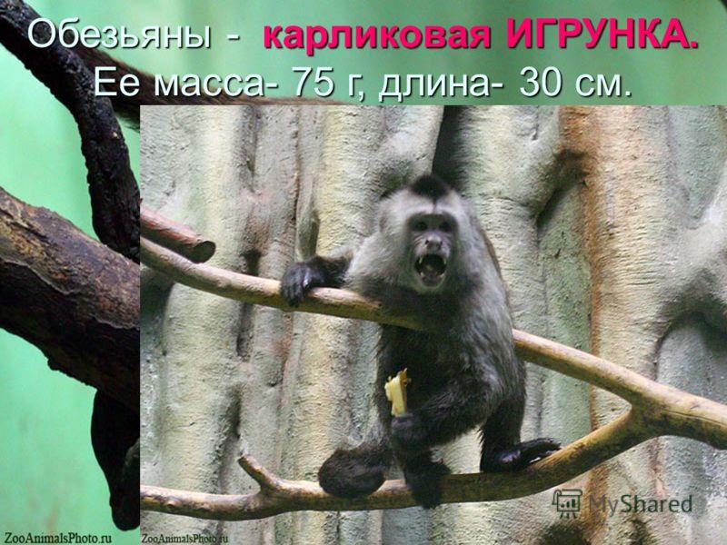 Обезьяны - карликовая ИГРУНКА. Ее масса- 75 г, длина- 30 см.