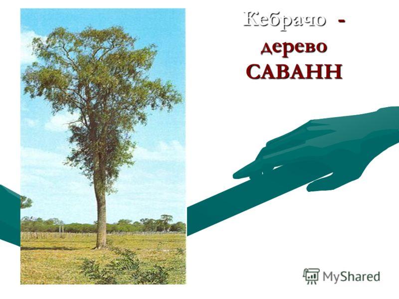 Кебрачо - дерево САВАНН