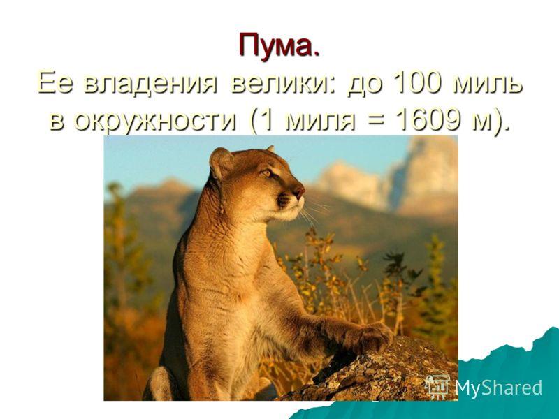 Пума. Ее владения велики: до 100 миль в окружности (1 миля = 1609 м).