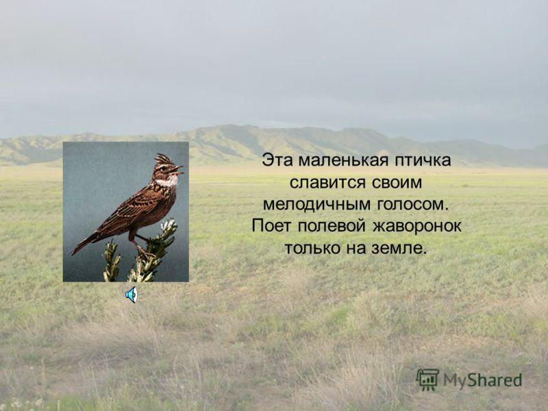 Эта маленькая птичка славится своим мелодичным голосом. Поет полевой жаворонок только на земле.