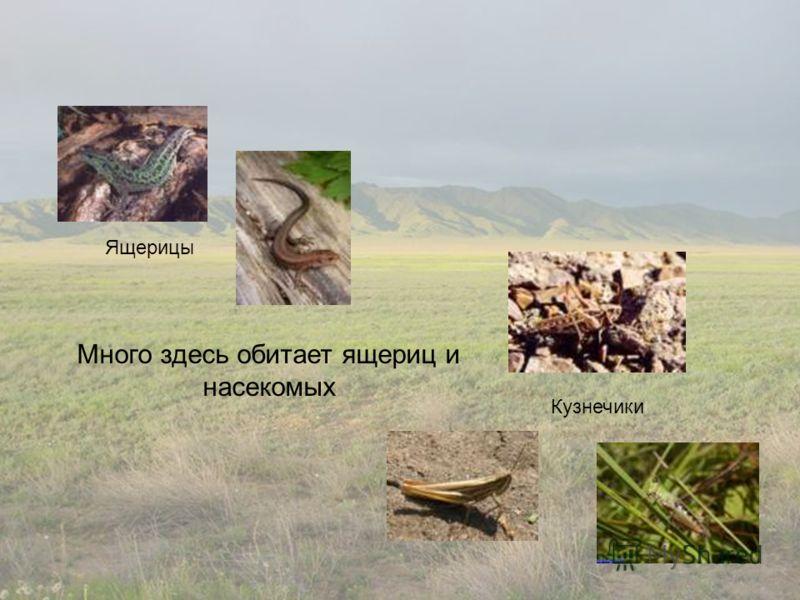 Ящерицы Кузнечики Много здесь обитает ящериц и насекомых